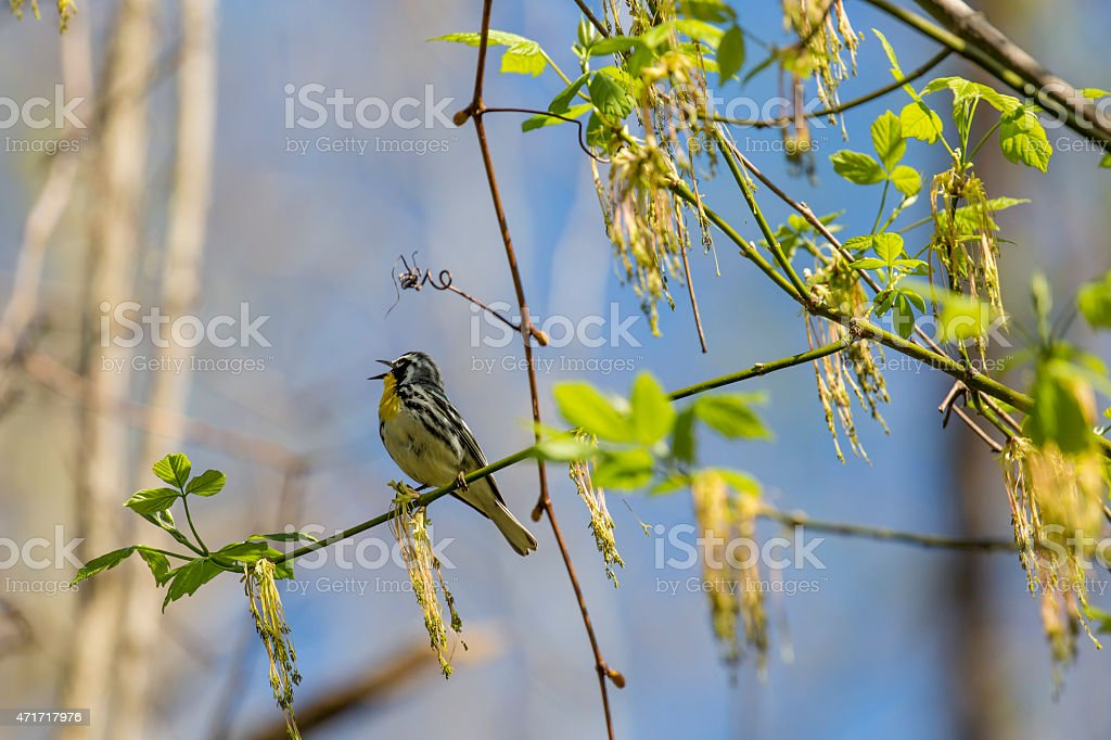 Yellow-throated Warbler (Dendroica dominica) Singing stock photo