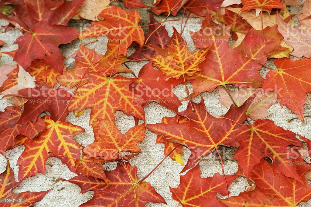 Yellow-veined, red color maple leaves. royalty-free stock photo