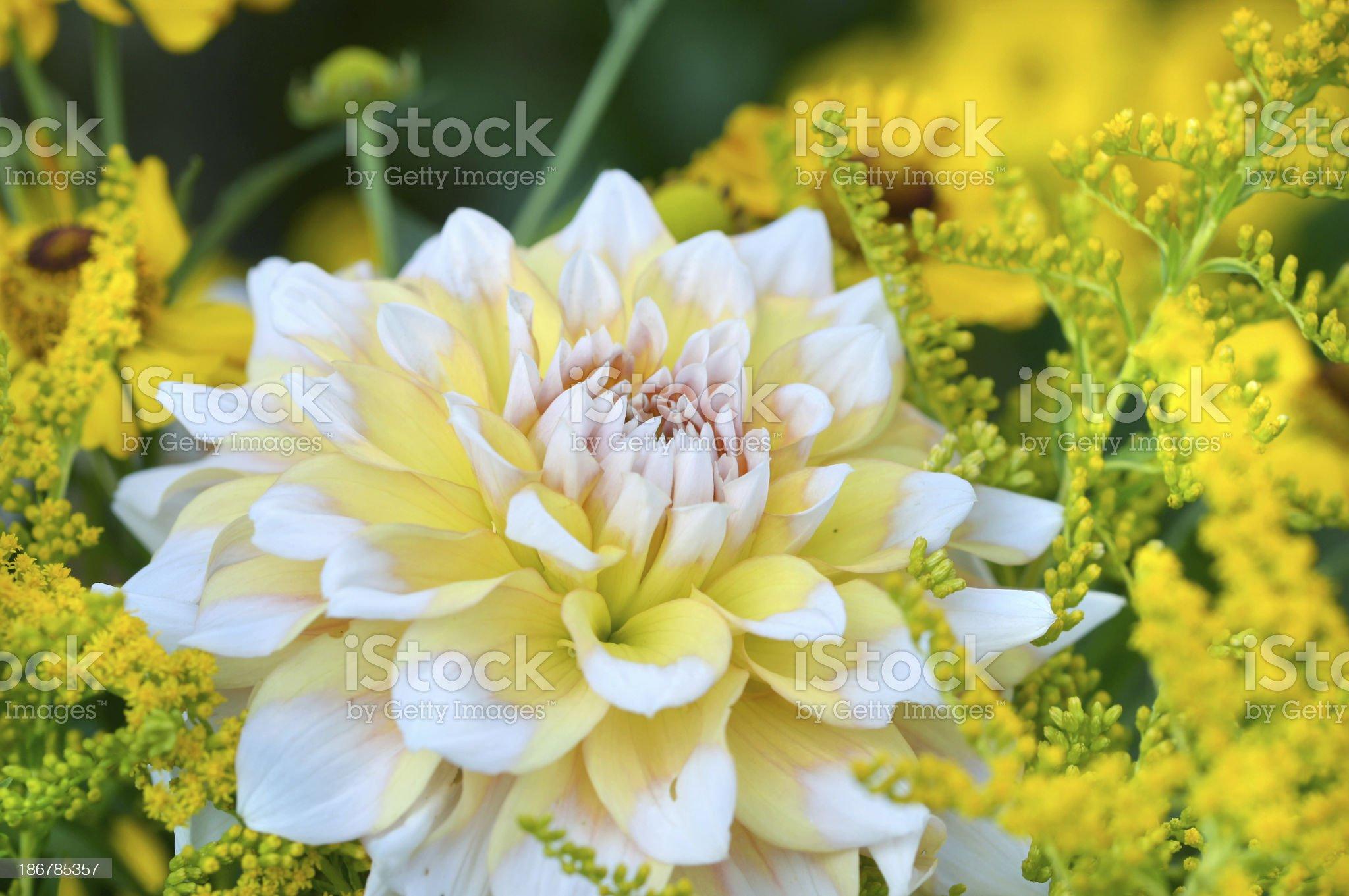 Yellow-white dahlia royalty-free stock photo