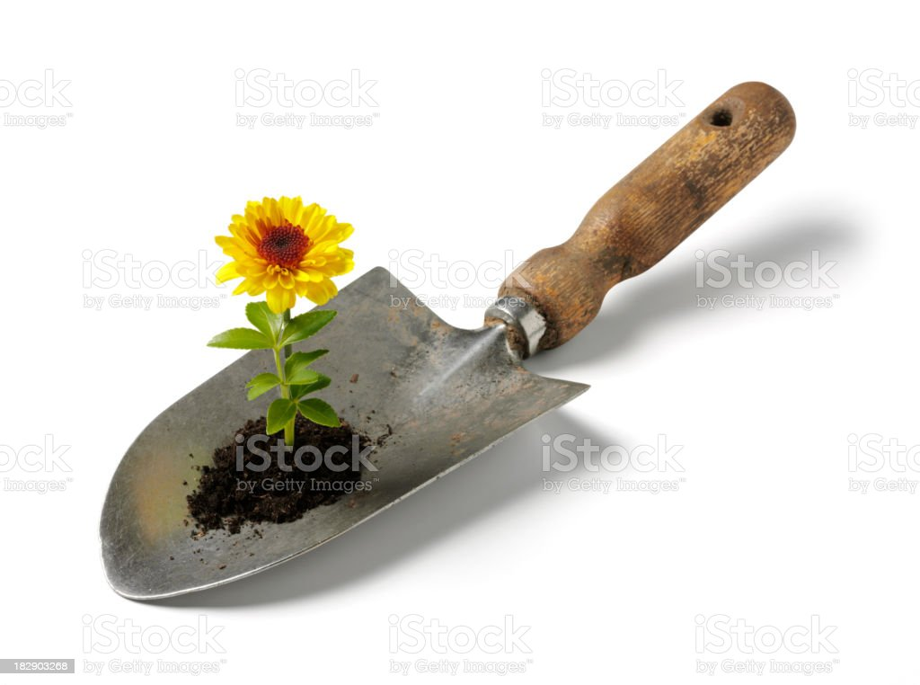 Yellwo Flower Growing in a Spade stock photo