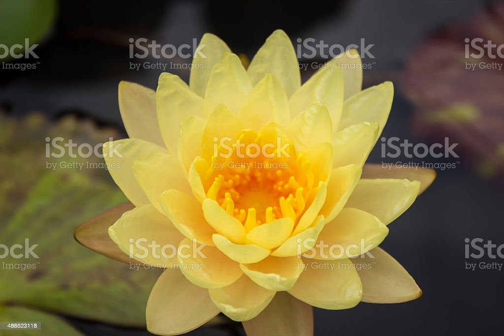 Yelow water lotus isolated stock photo