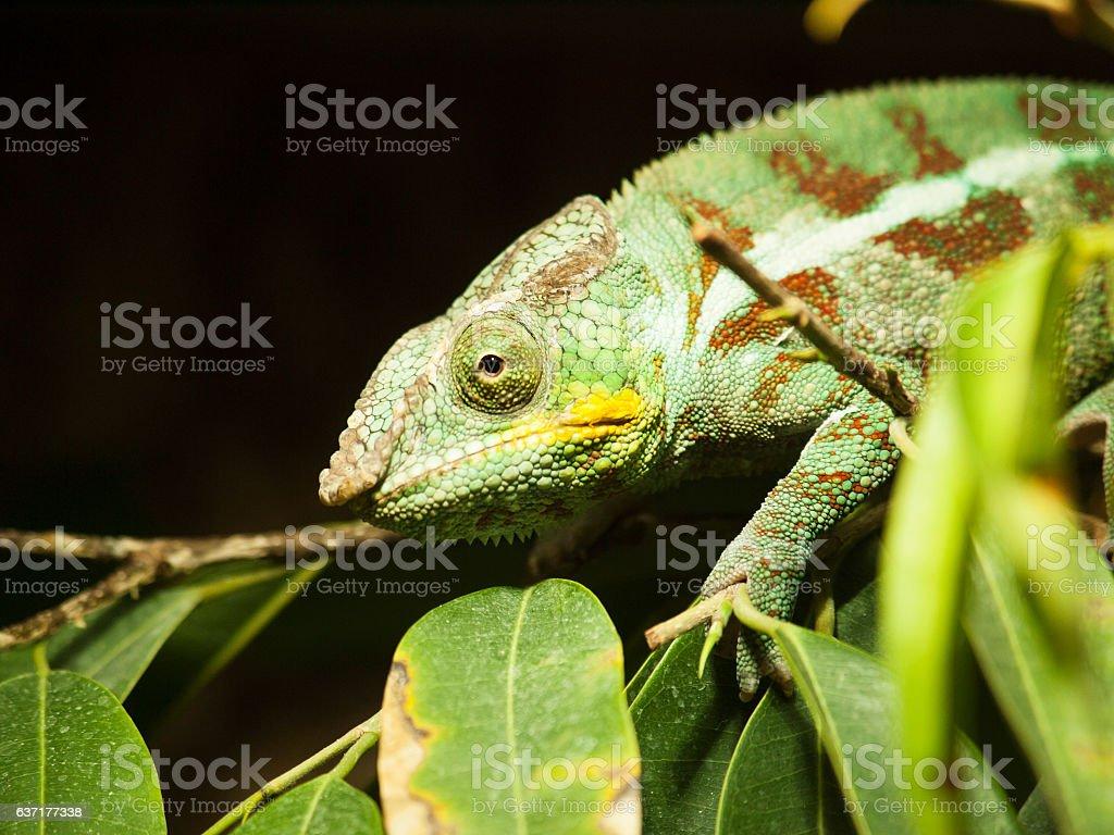 Yemen chameleon on the branch with leaves - Chameleo calyptratus stock photo