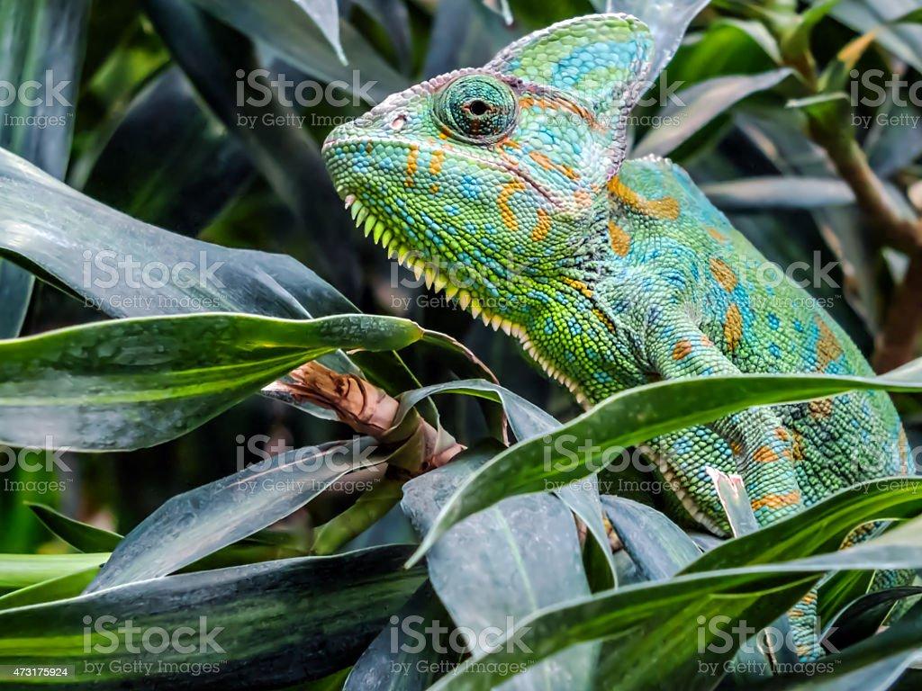 Yemen Chameleon stock photo