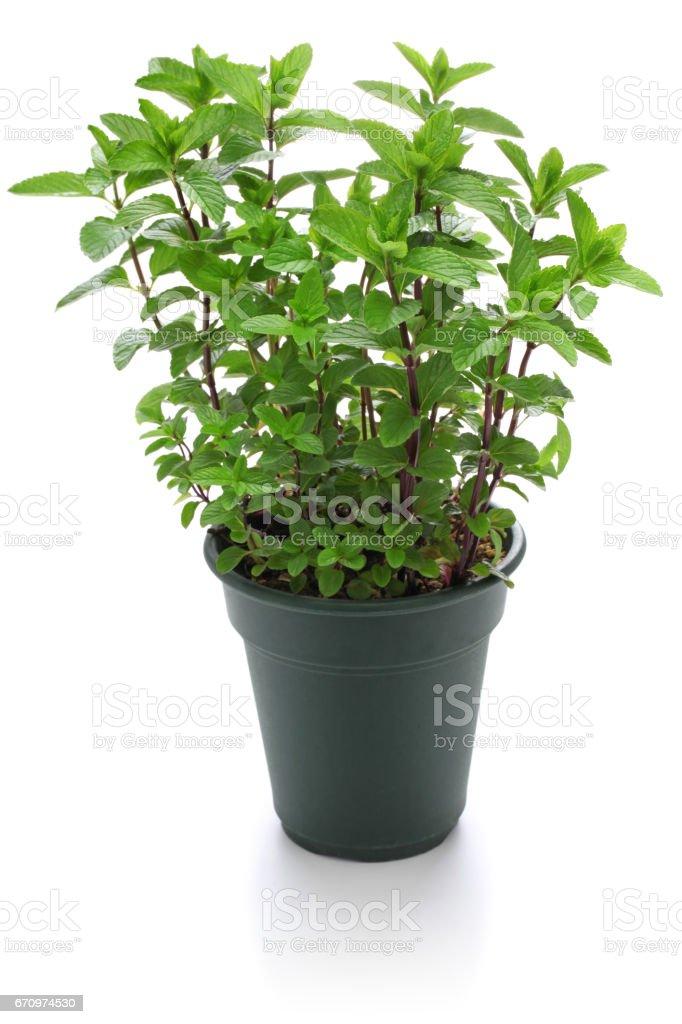 yerba buena, hierba buena, mojito mint, cuban mint stock photo