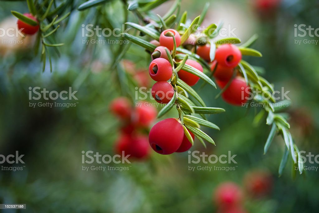 Yew berries stock photo