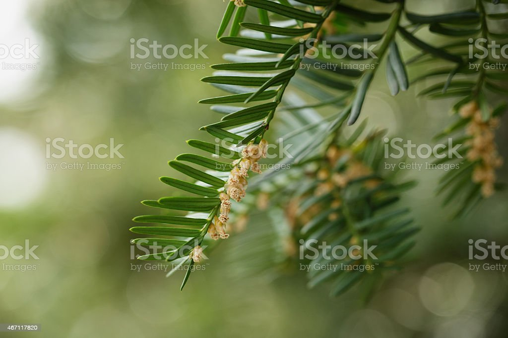 Yew or Taxus baccata green leaves and flowers stock photo
