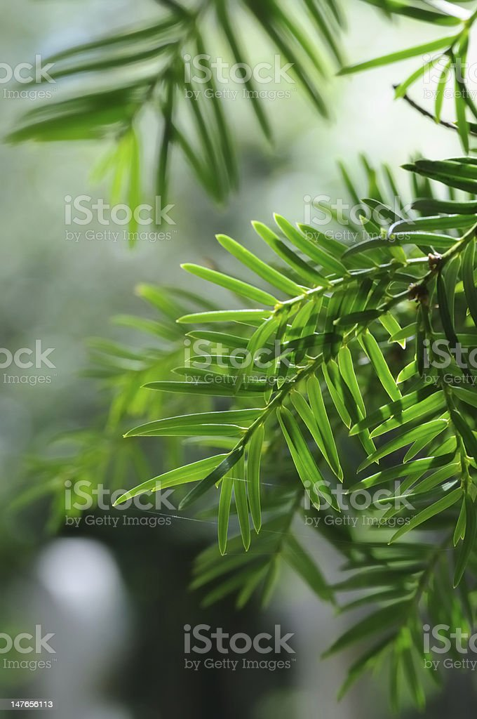 Yew stock photo