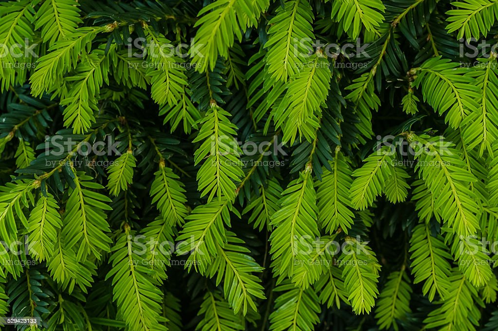 Yew Tips stock photo