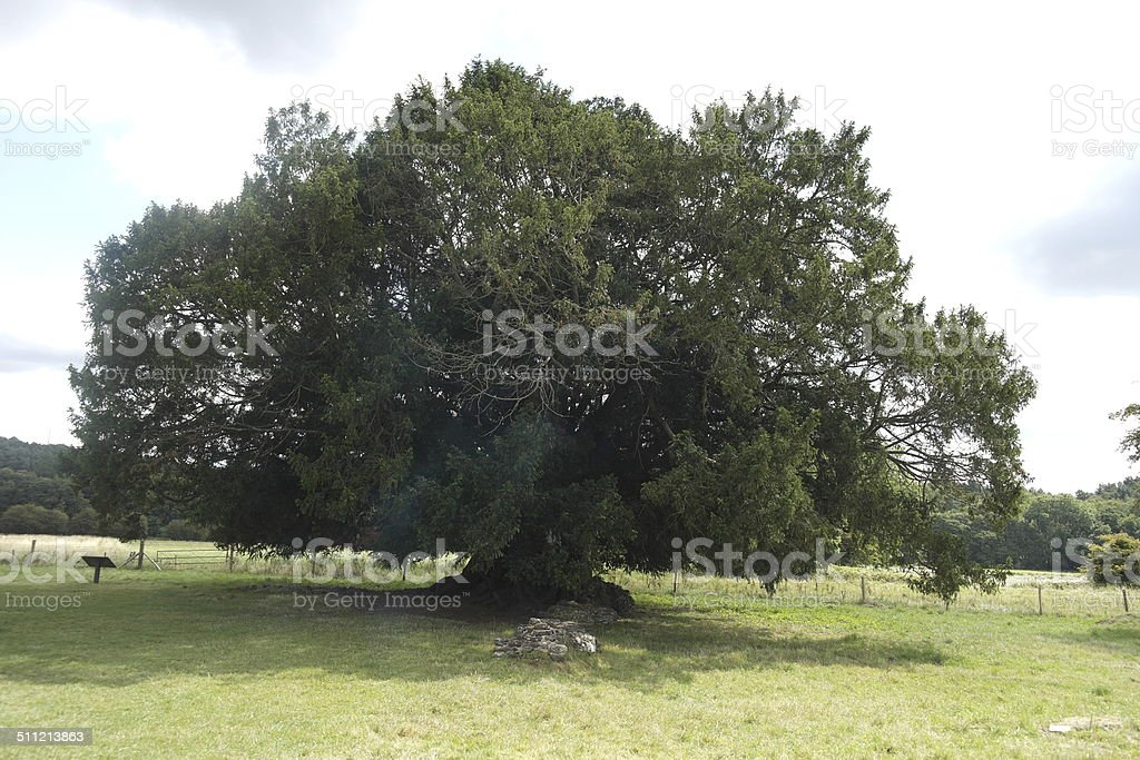 Yew Tree at Waverley Abbey stock photo