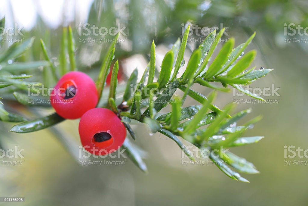 Yew Tree berry stock photo