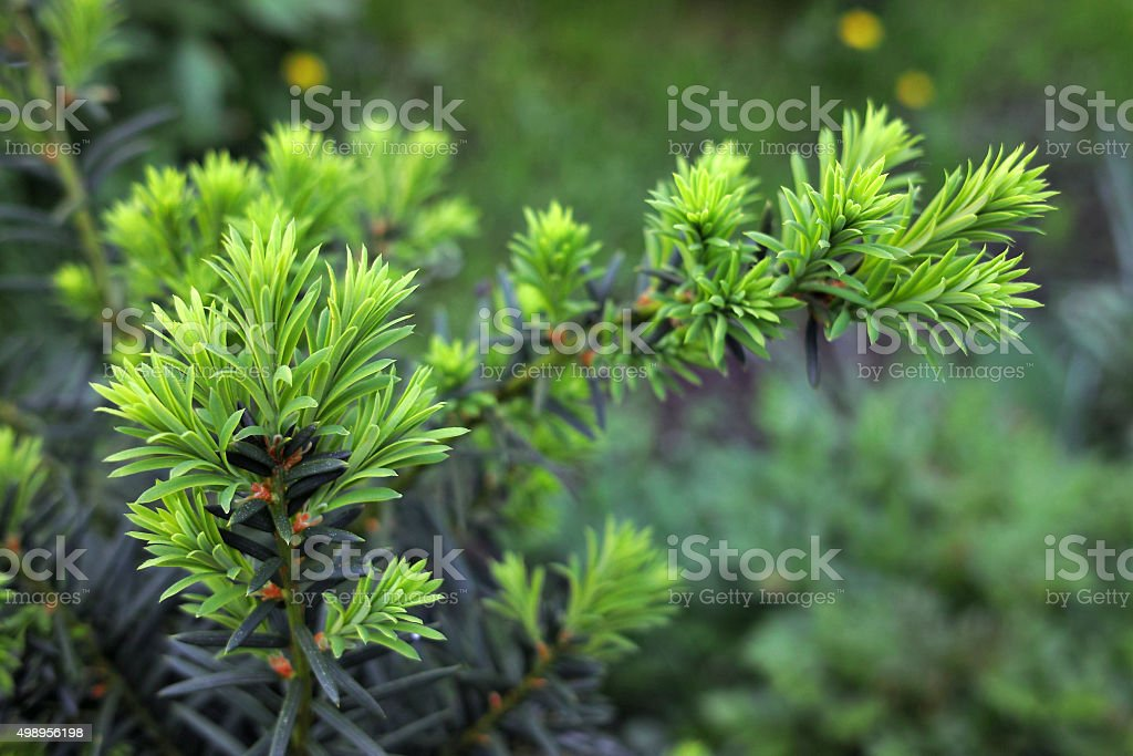 Yew tree (Taxus cuspidata). Growing branch of Japanese yew. stock photo