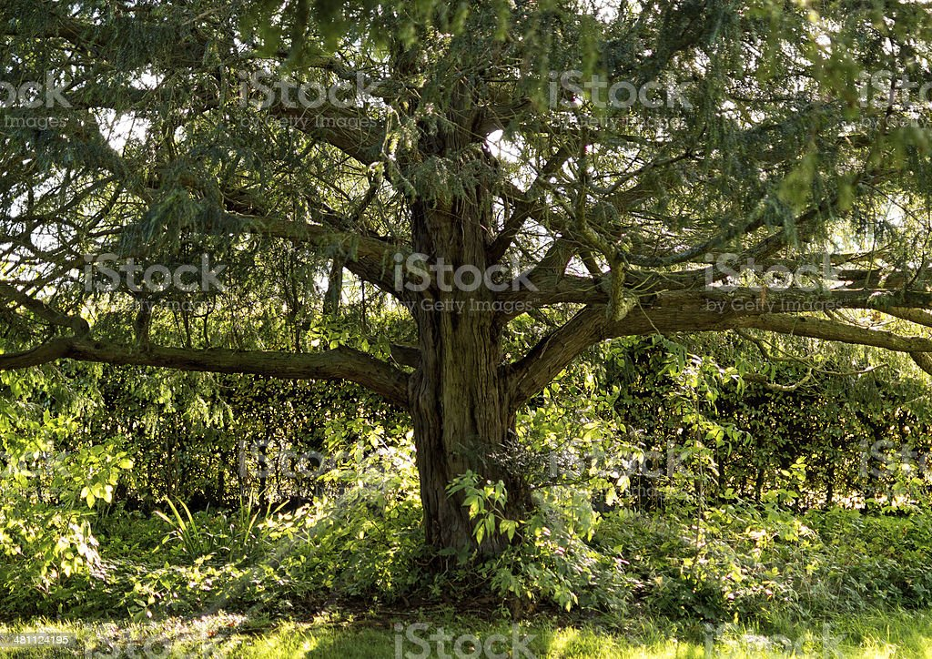 Yew tree stock photo