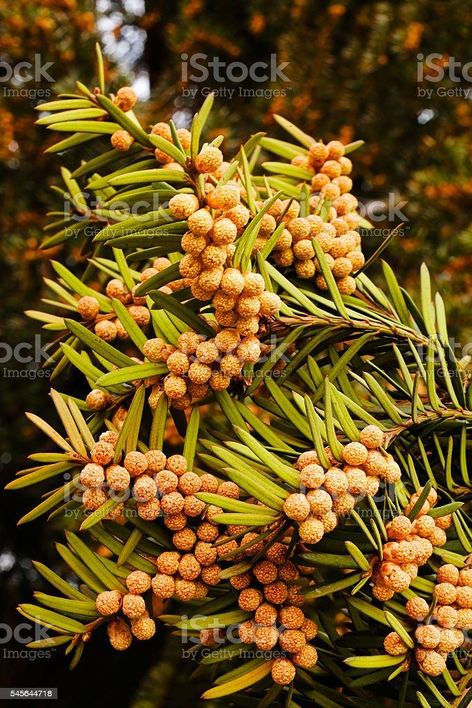 Yew tree stock photo