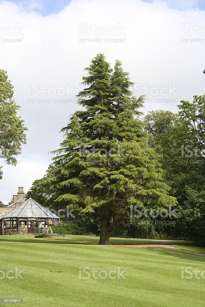 Yew Tree. stock photo