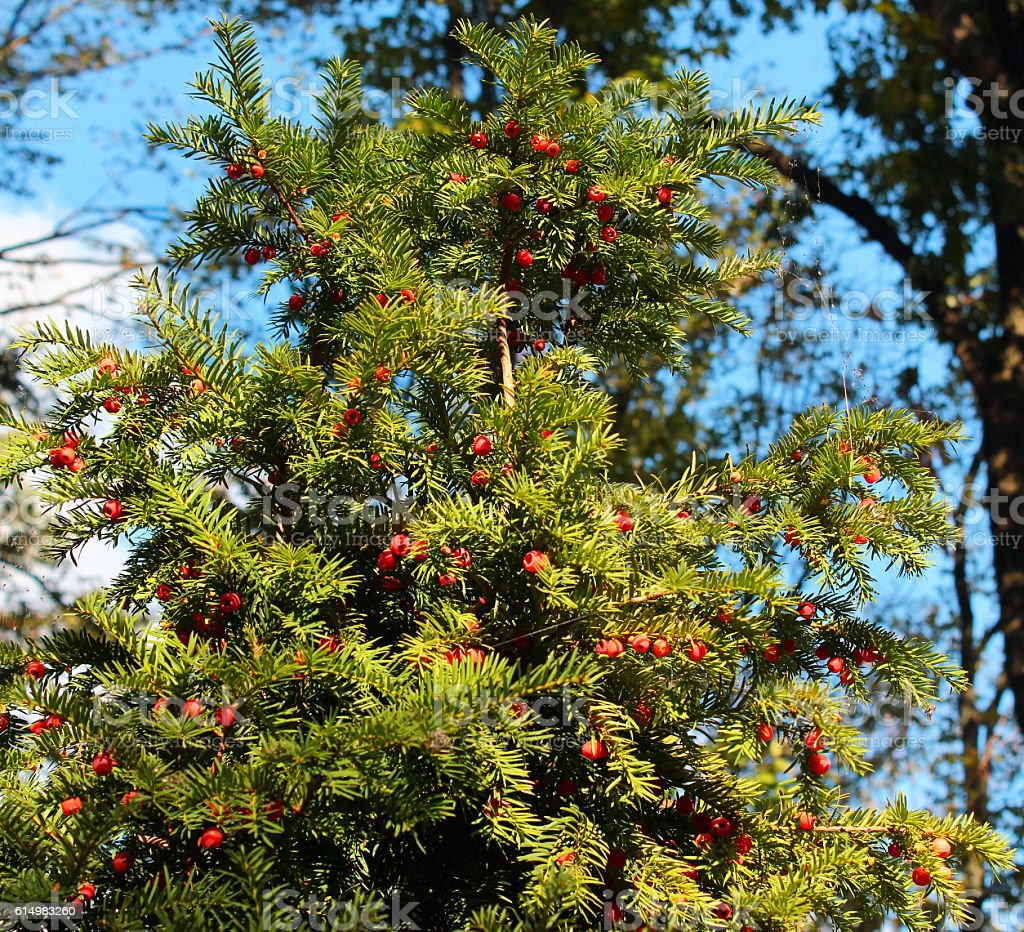 Yew tree (Taxus baccata) with red berries stock photo