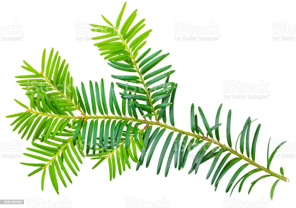 yew twig isolated on white background stock photo