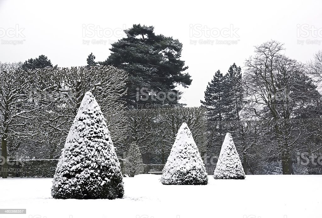 Yews cut in cone covered with snow stock photo