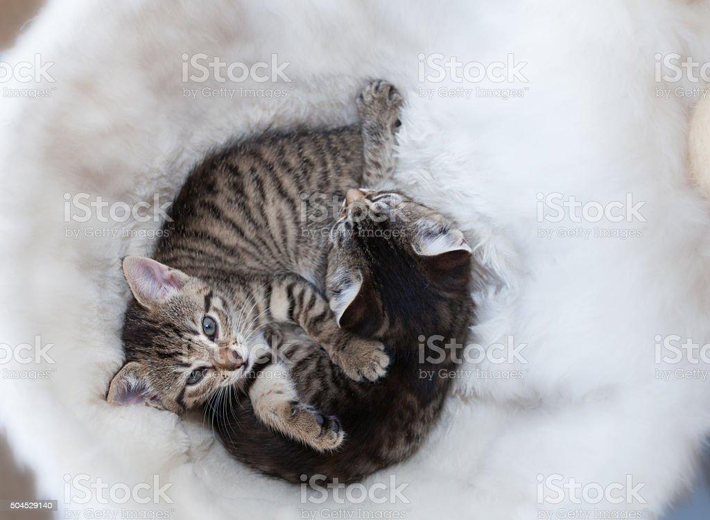 yin yang kitten stock photo