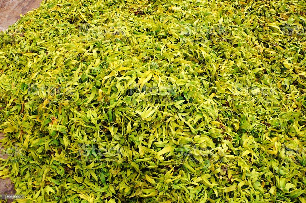 Ylang ylang ready for fermenting stock photo