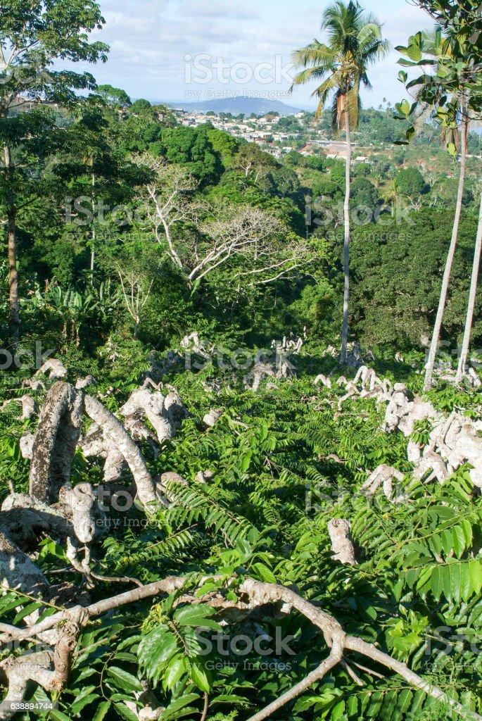 Ylang Ylang tree on the island of Mayotte stock photo