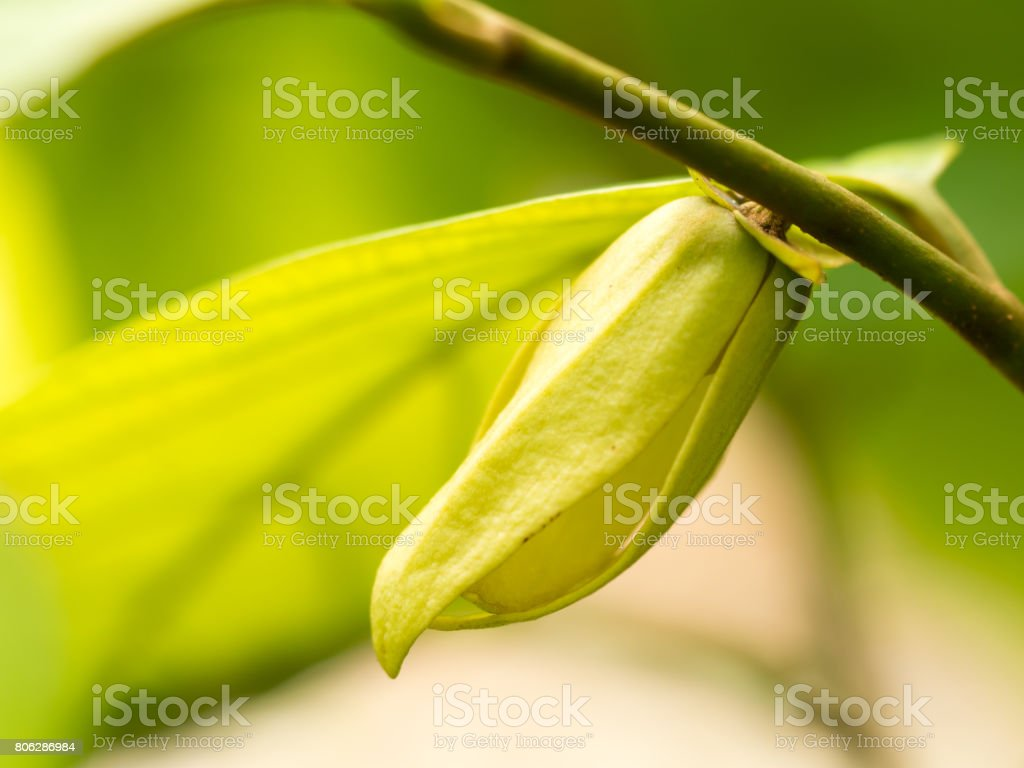Ylang-ylang flower in nature or Friesodielsia desmoides (Craib) Steenis. stock photo