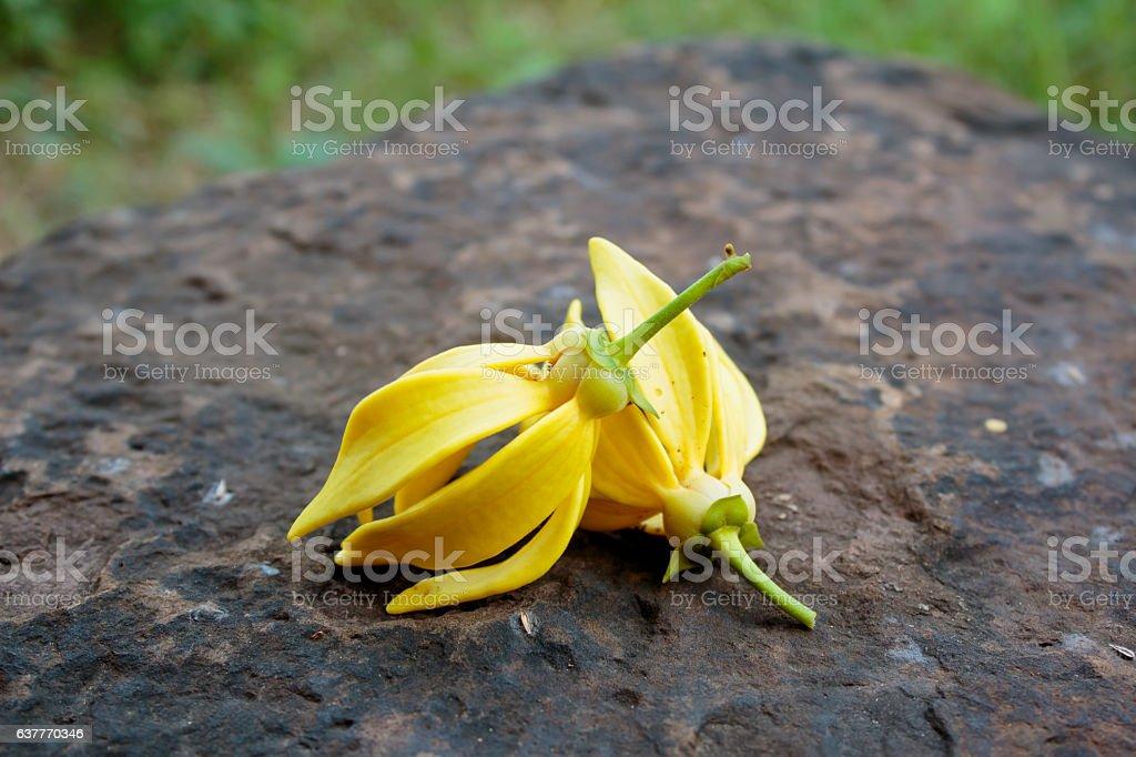 Ylang-ylang Yellow flower stock photo