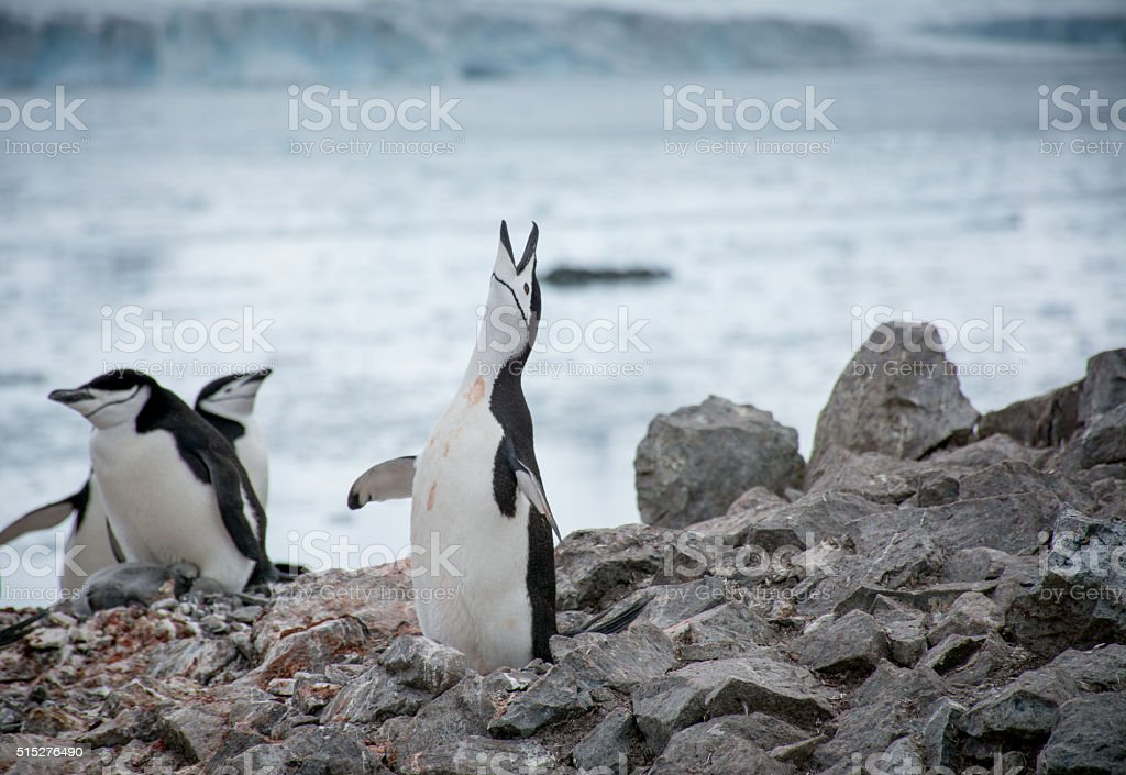 Yodeling Chinstrap Penguin stock photo