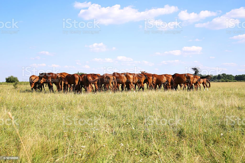 Yoiung mares and foals peaceful grazing on summer pasture stock photo