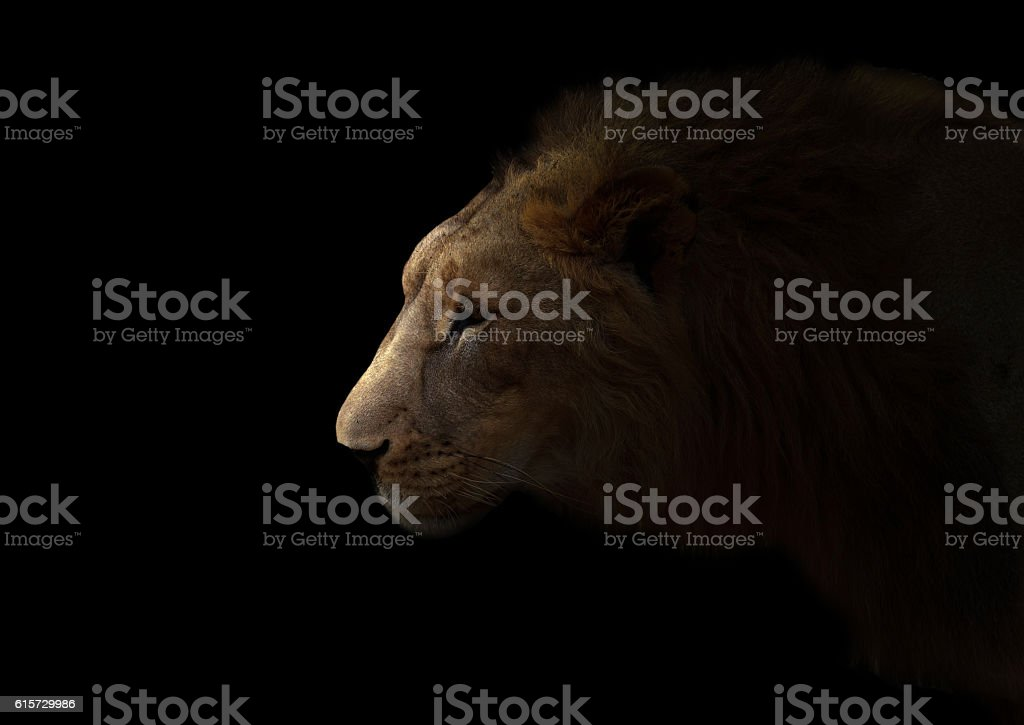 yong male lion in the dark stock photo