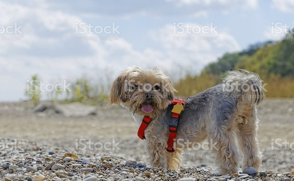 York dog on the stone beach stock photo
