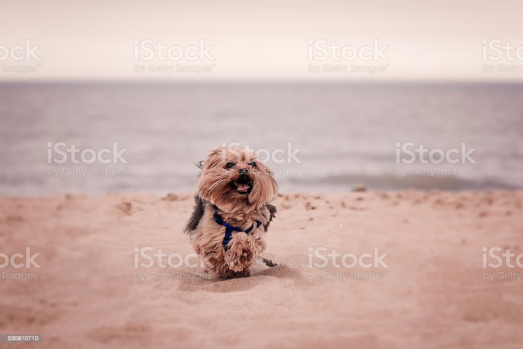 York dog playing on the beach. stock photo