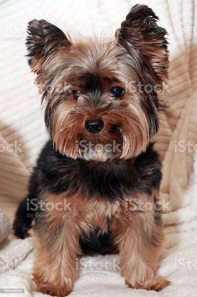Yorkhire terrier royalty-free stock photo