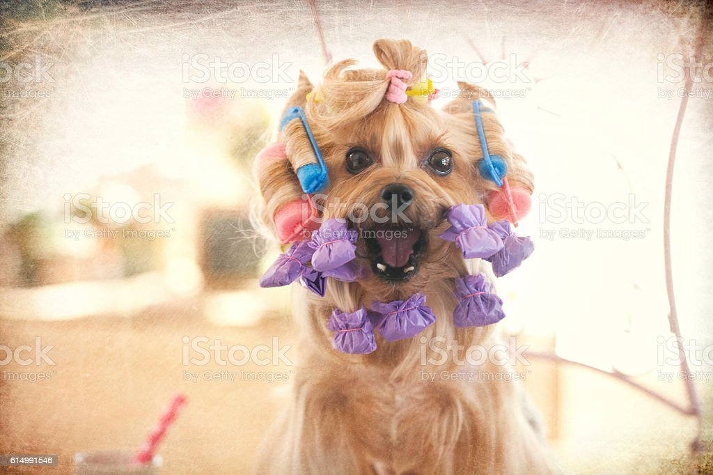 Yorkie at the Beauty Spa Pet Grooming Salon with Curlers stock photo