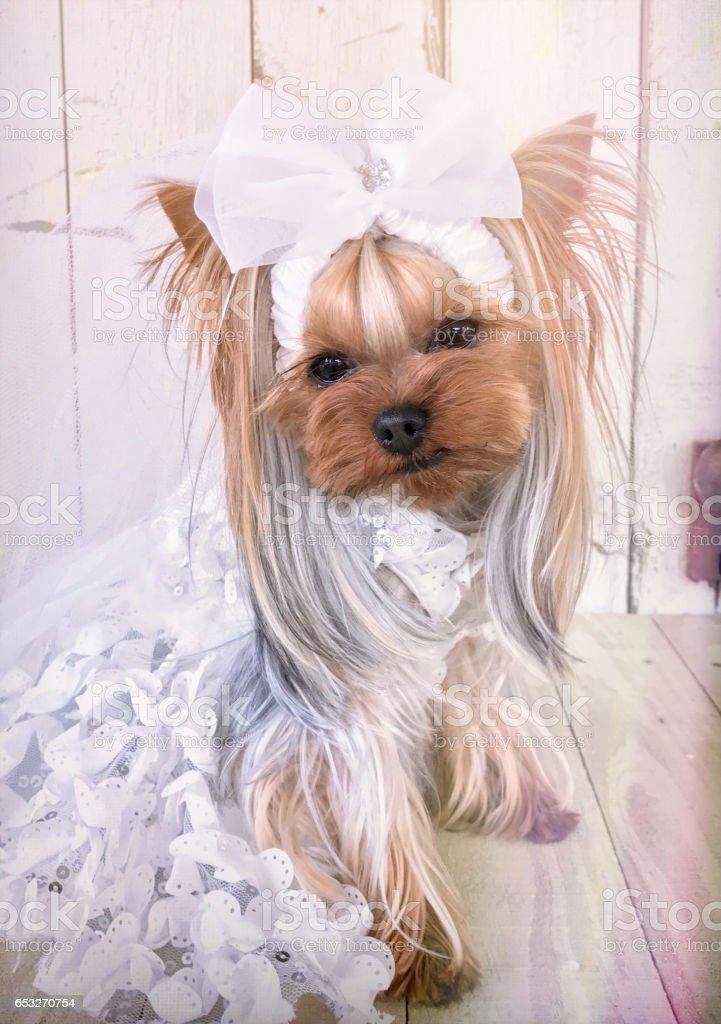 Yorkie Bride stock photo