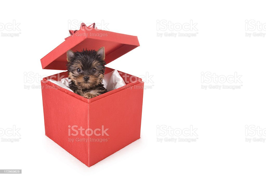 Yorkie Christmas (XL) royalty-free stock photo