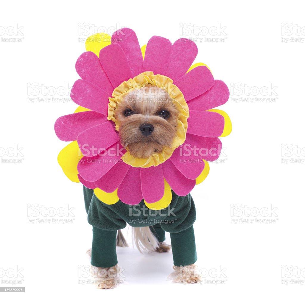 Yorkie Daisy stock photo