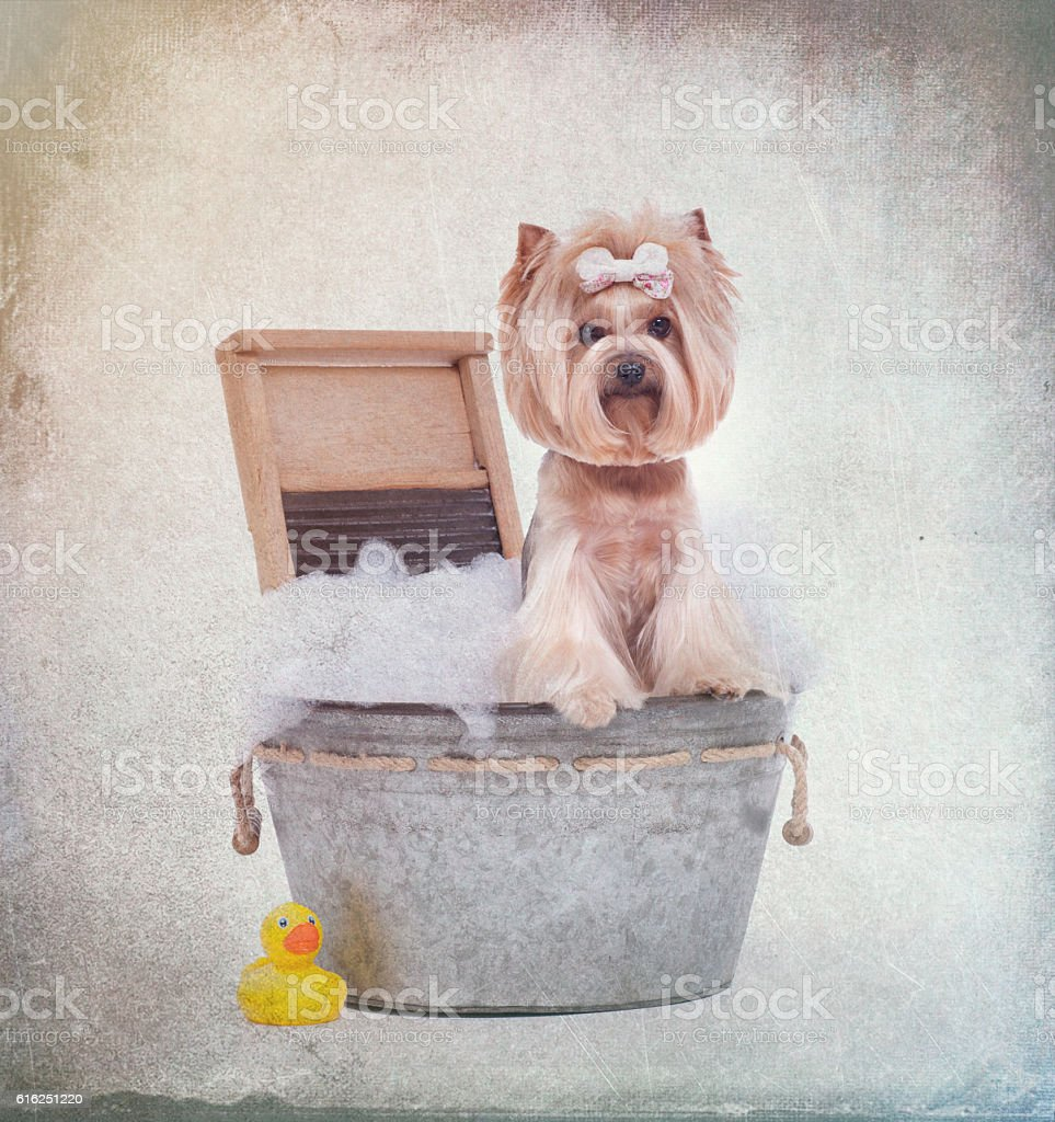 Yorkie dog in washtub bubble bath with rubber ducky stock photo
