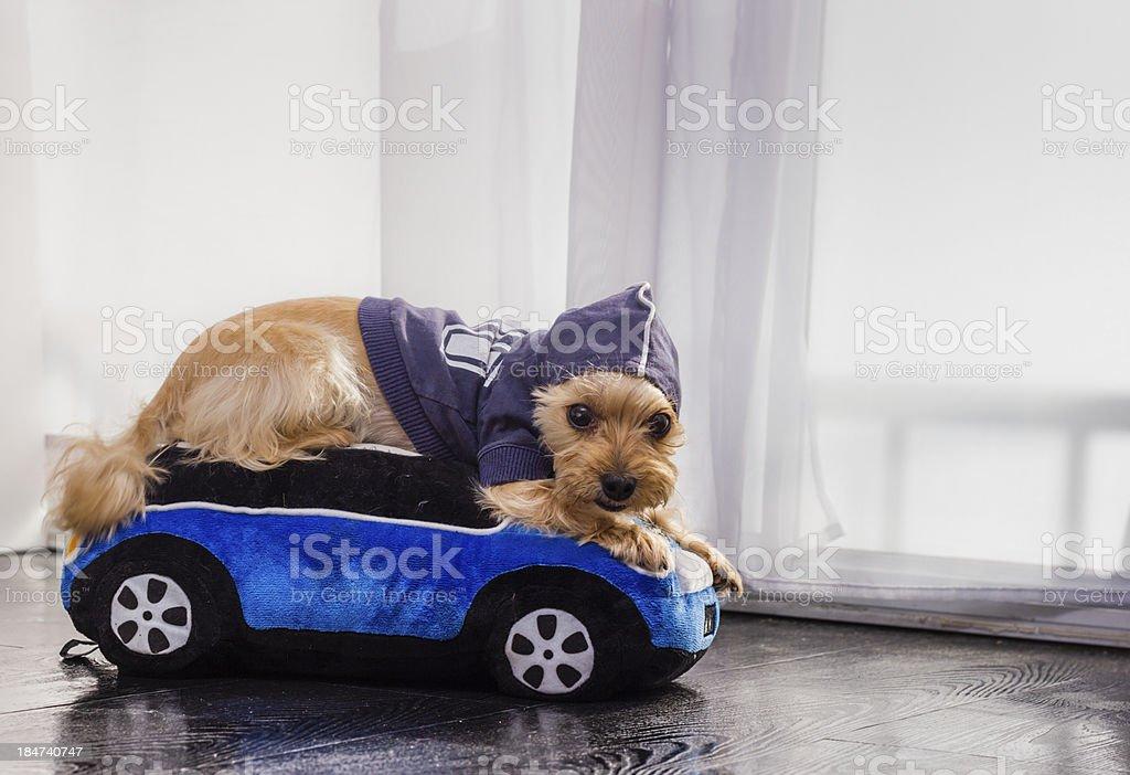 Yorkie Dog royalty-free stock photo