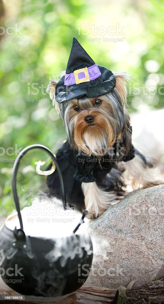 Yorkie Dressed up in a Witch Costume for Halloween stock photo