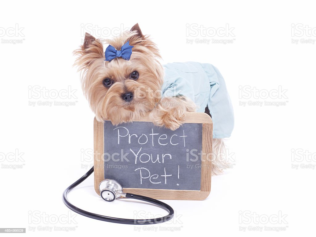 Yorkie holding a black board with message. stock photo