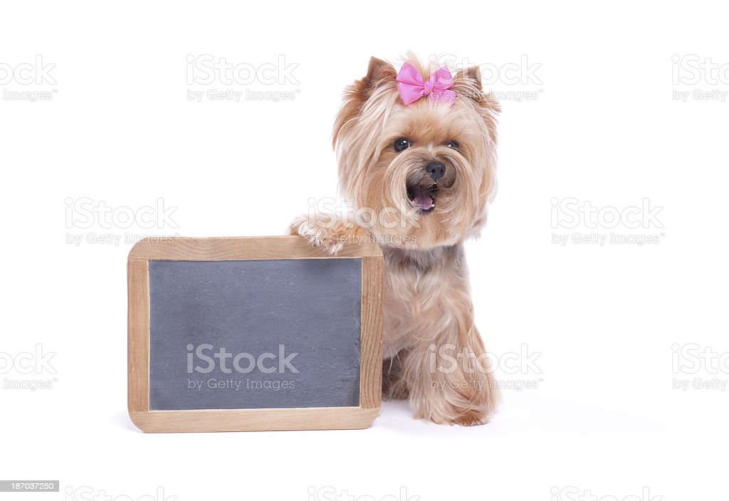 Yorkie Holding Blank Chalk Board stock photo