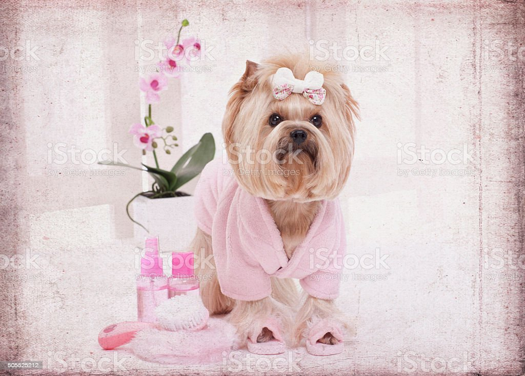 Yorkie in Pink Bathrobe and Slippers at the Beauty Salon Spa and...