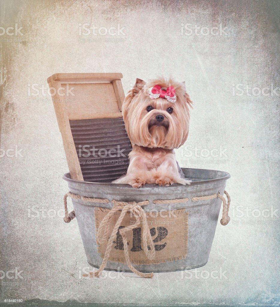 Yorkie in wash bin bathtub at the dog beauty spa stock photo