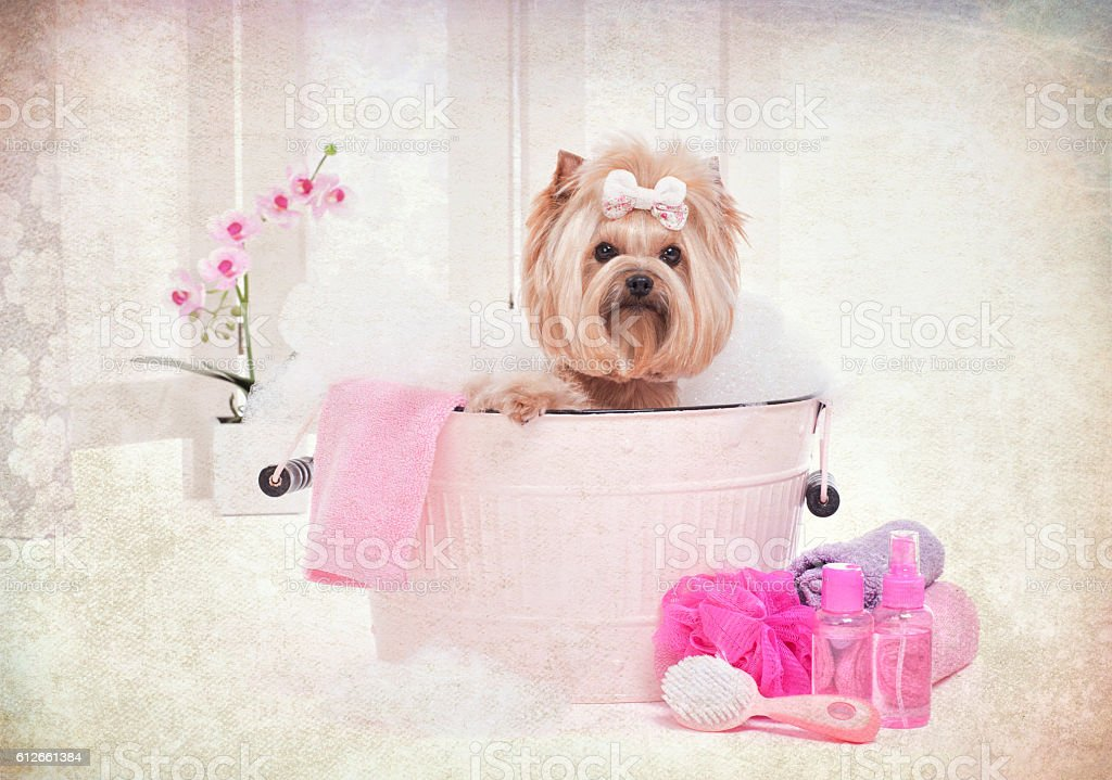 Yorkie in wash bin bathtub at the dog grooming salon stock photo