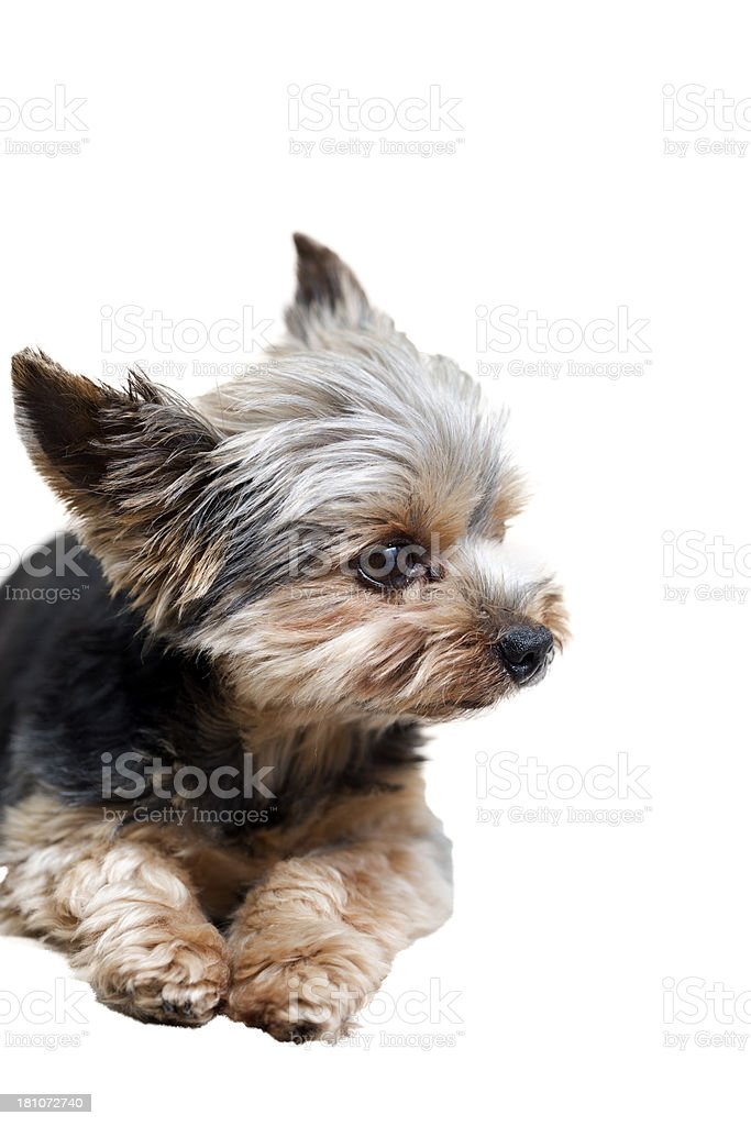 Yorkie Isolated on White royalty-free stock photo