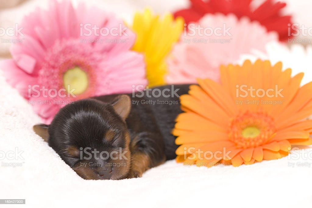 Yorkie Newborn stock photo