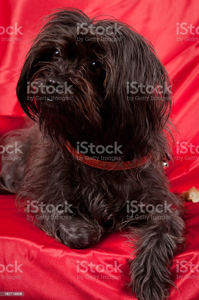 Yorkie Poo on Red stock photo