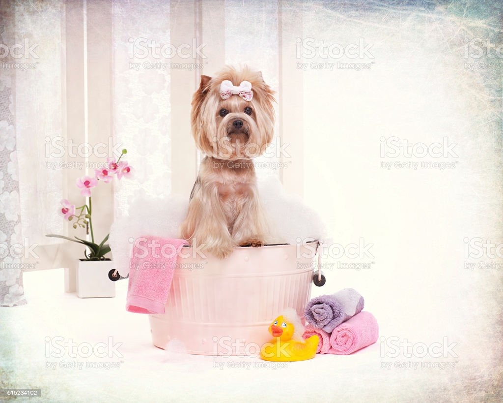 Yorkie in a bubble filled wash basin bathtub at the dog grooming...