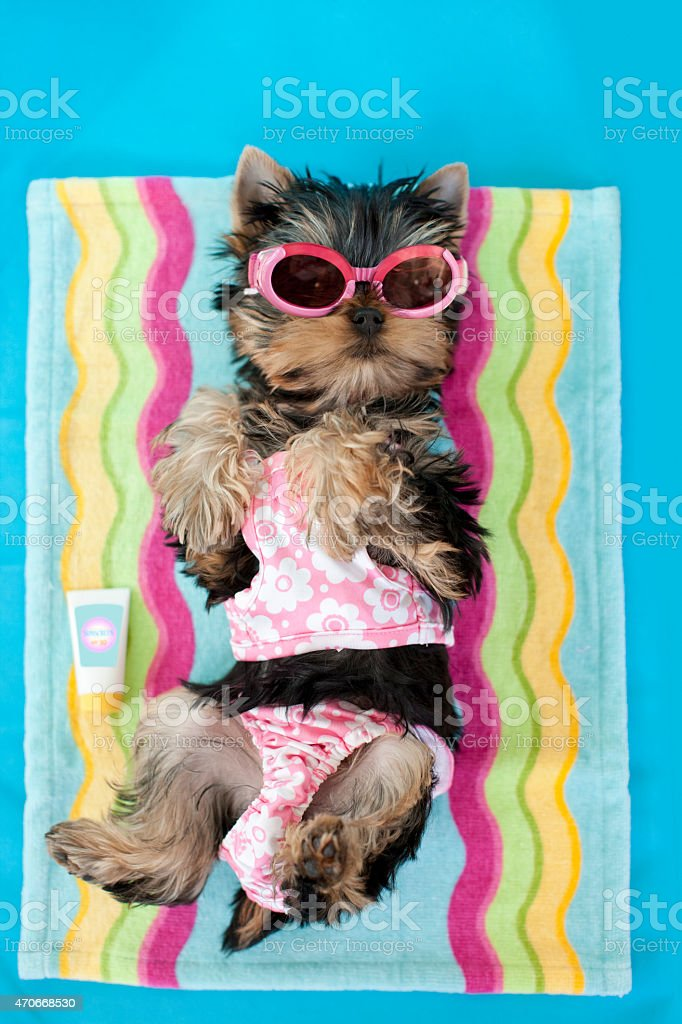Yorkie wearing Swim Suit and Sunglasses Laying on Lounge Chair stock photo
