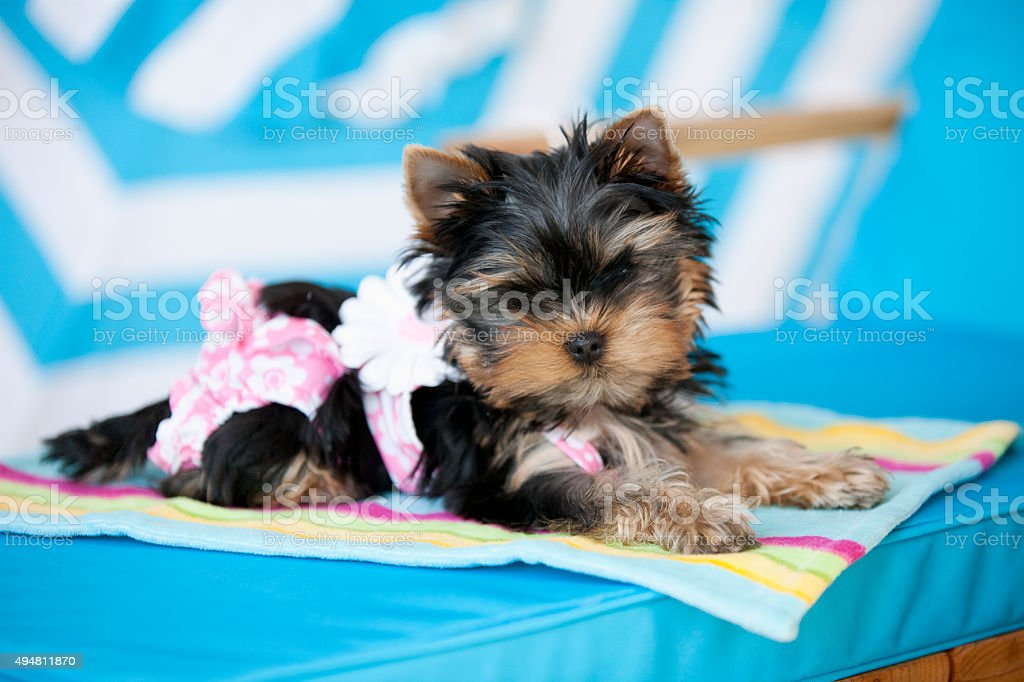 Yorkie wearing Swim Suit at Beach Laying on Lounge Chair stock photo